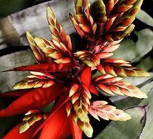 The Red Bromeliad by Samuel  Khusunawi