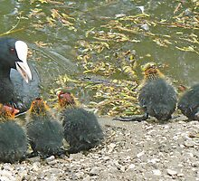 """Now Children…."" – A Coot Addresses Her Chicks by AARDVARK"