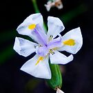 White Iris by Elana Bailey