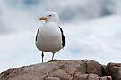 Kelp Gull by Robert Elliott
