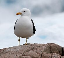 Kelp Gull by Robert Elliott