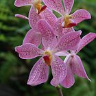 Speckled Pink Orchids by Robyn Williams