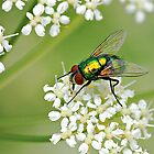 GREEN BOTTLE FLY by Sandy Stewart
