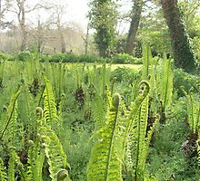 Ferns awaking  by Susie J