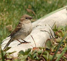 Female House Sparrow by Ryan Houston