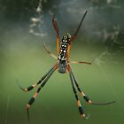 "Close Up Of A ""Golden Orb Weaver"" Garden Spider... Free State, South Africa by Qnita"
