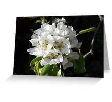 Pear blossom .. spring flowers Greeting Card