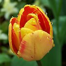 Rain on tulip by LoneAngel