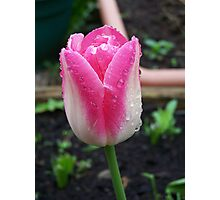 Tulip ..  Sprinkled with rain Photographic Print