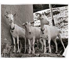 Three Goats Poster