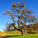 Big Oak by Rany Lutz