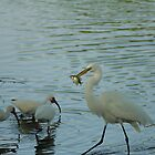 GREAT EGRET EATING A FISH by Howard & Rebecca Taylor