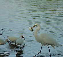 GREAT EGRET EATING A FISH by H & B Wildlife  Nature Photography