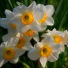 Spring Daffodils by Curtiss Simpson