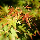 Japanese Maple by twinpete