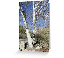 White Sycamores Greeting Card