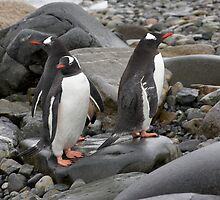 "Gentoo Penguins ~ ""Umm........ Which Way"" by Robert Elliott"