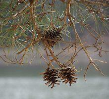 Pinecones by vigor