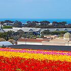 Carlsbad Flower Fields  by Cynde143