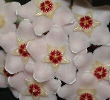 HOYA FLOWER by Fran James