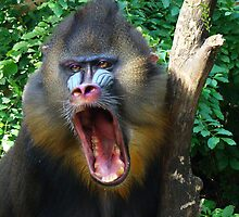 MANDRILL by Michael Sheridan