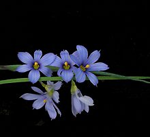 Tiny Blue Eyed Grass by Kay  G Larsen