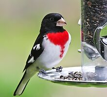 Rose Breasted Grosbeak by Benjamin Young