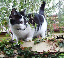Toorak Cat by skyhorse