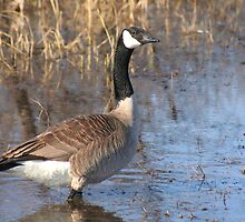 Goose walking in water by Stephen Thomas