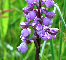 Green Winged Orchid by Sharon Perrett