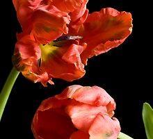 Tulips by prbimages