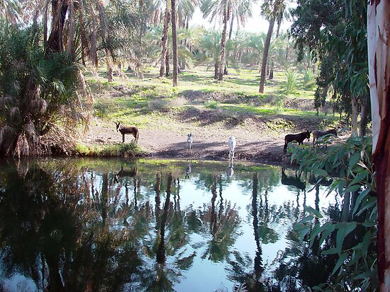 Donkeys drinking from the Jordan river by Moshe Cohen