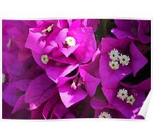 Cuban flowers Poster