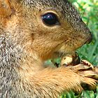 Fox Squirrel having lunch by IndyLady