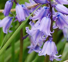 Blue Bells  by Aishling O'Neill