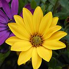 Vibrant Golden Daisy by kathrynsgallery