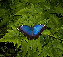 blue Morpho Butterfly  by Jan Prchal