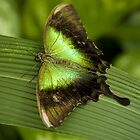 Papilio peranthus by Jan Prchal