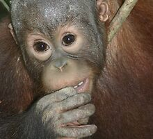 Baby Orangutang by Freespirit