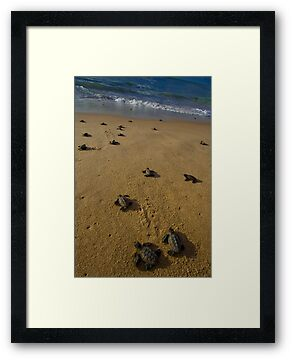 hawksbill turtle hatchlings in Bahia, Brazil by robinmoore