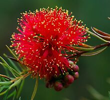 Scarlet Honey Myrtle. by Bette Devine