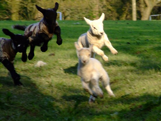 Leaping Lambs by Paul Gibbons