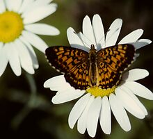 A Butterfly and a Daisy for Gladys by bertspix