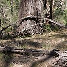 Dead branches at foot of gum Westerfolds Park 201412271397 by Fred Mitchell