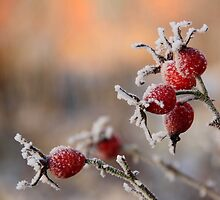 Frosty rose hips in sunlight by KerstinB