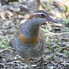 Buff Banded Rail by ajax