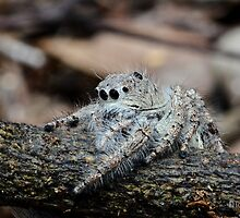 Looking for a snack: Jumping Spider (Salticidae) by Deborah V Townsend