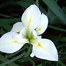 White Iris by Glenna Walker