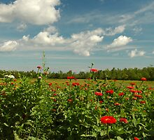 Field Of Zinnias  by Kathleen Struckle