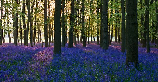 Bluebell Sunrise by Mark Thompson